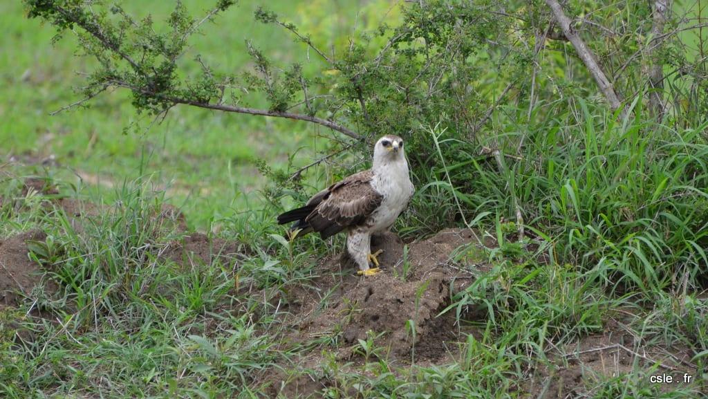 oiseau rapace aigle Afrique du sud safari