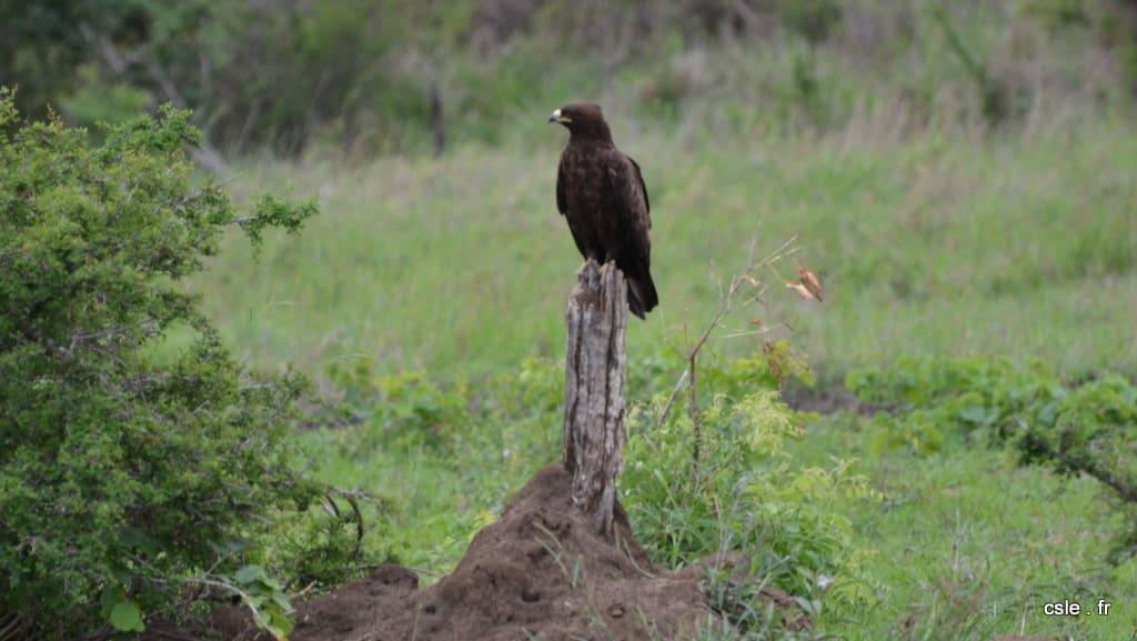 oiseau rapace Afrique du sud safari