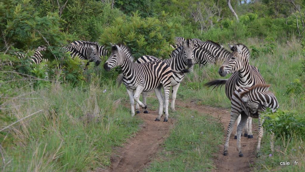 safari Afrique du sud – zèbre