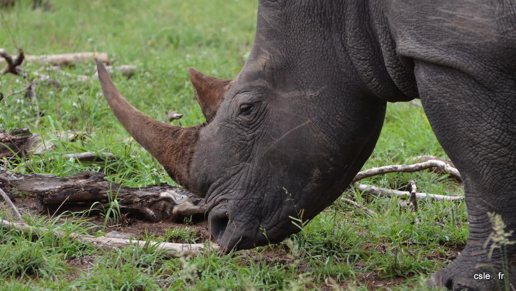 Rhinoceros – safari Afrique du sud (2)
