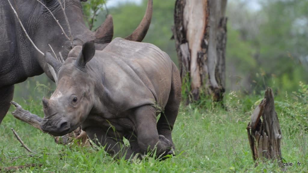 Bébé rhinoceros – safari Afrique du sud