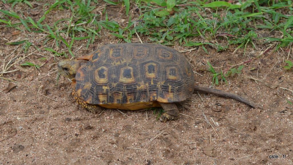 safari Afrique du sud – tortue
