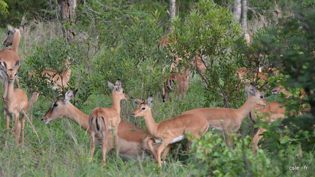 safari Afrique du sud – impala
