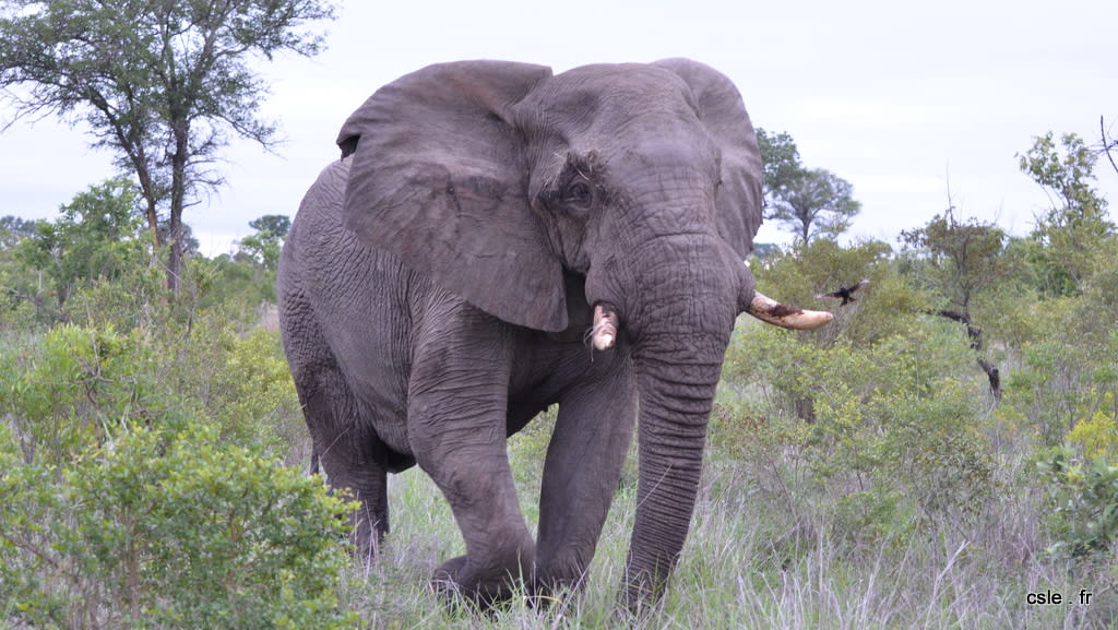 elephant – safari Afrique du Sud (12)