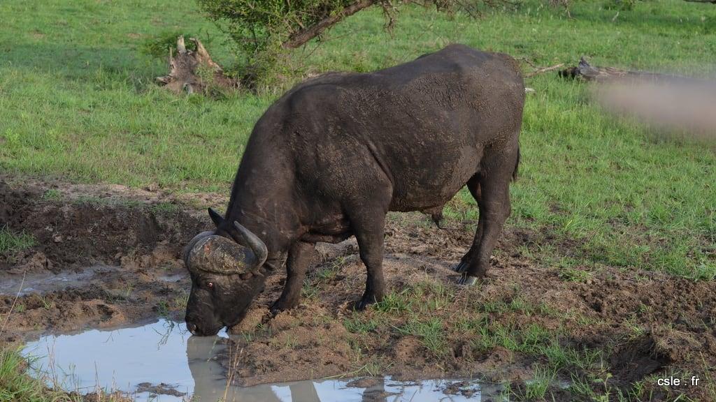 Buffle – safari afrique du sud (3)