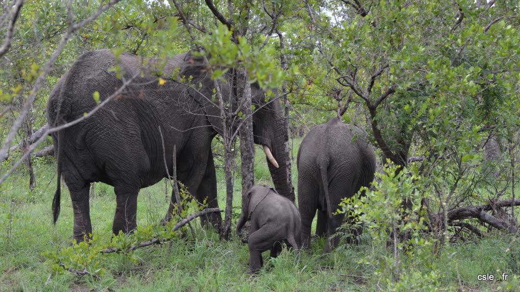 elephant – safari Afrique du Sud (11)
