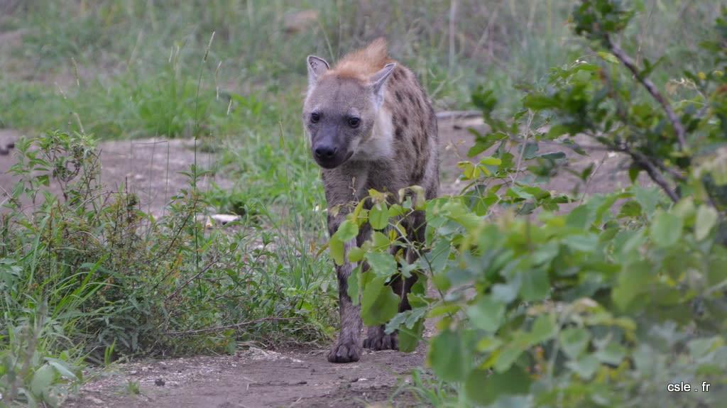 safari Afrique du sud – hyène