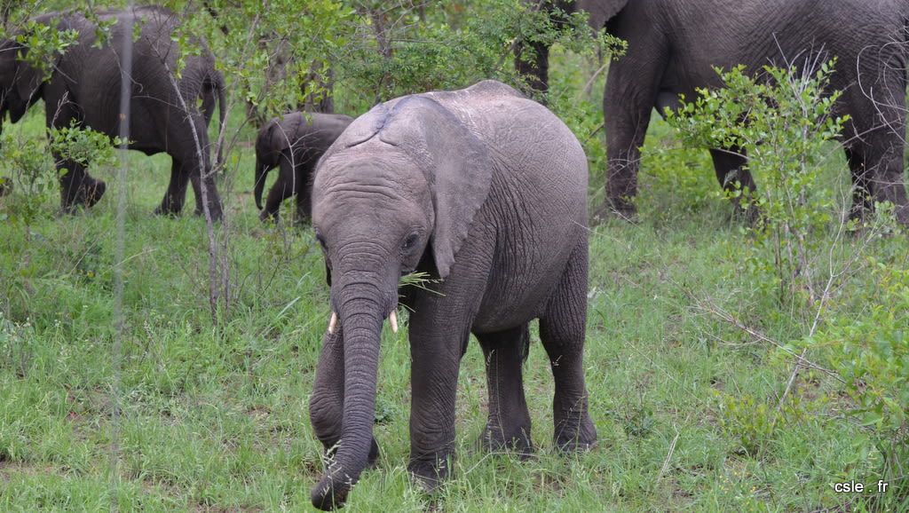 elephant – safari Afrique du Sud (10)