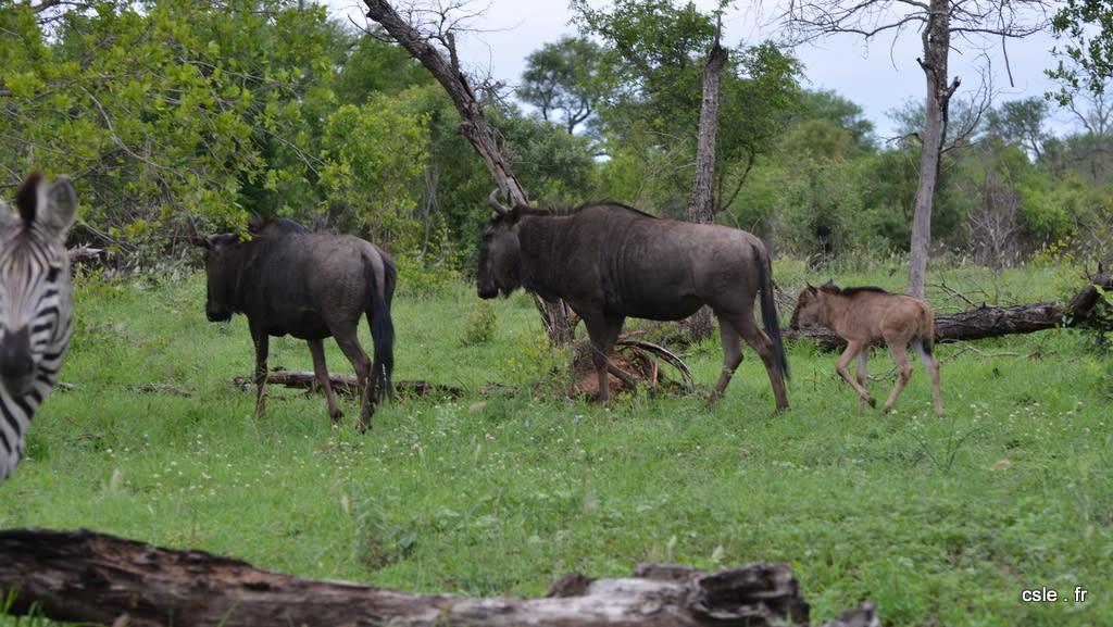 Safari Afrique du sud – gnou (2)