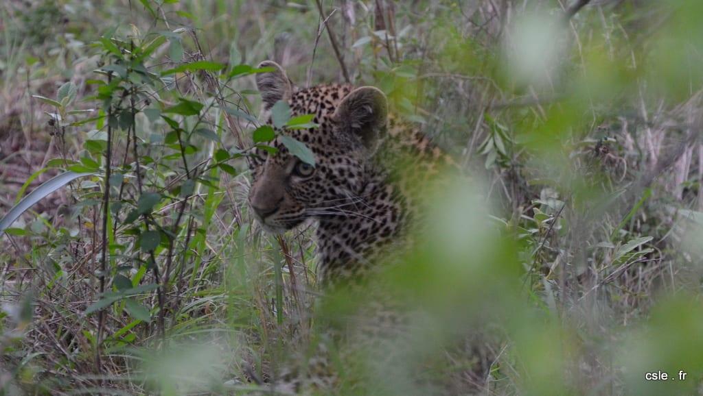 léopard bébé – safari afrique du sud sabi sand