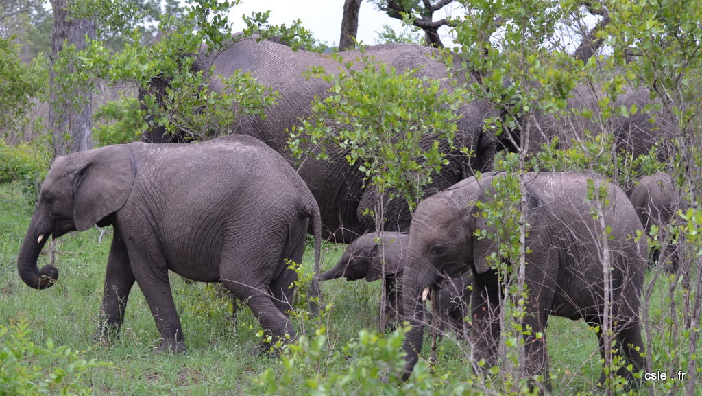 elephant – safari Afrique du Sud (9)
