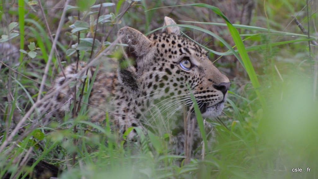 léopard – safari afrique du sud