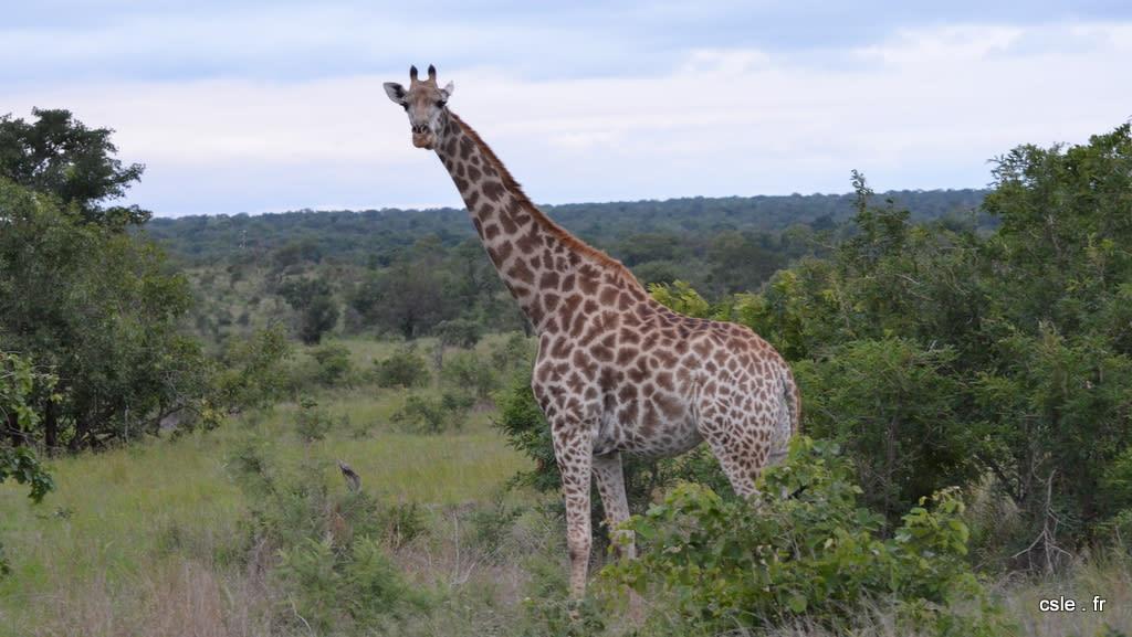 safari Afrique du sud – girafe