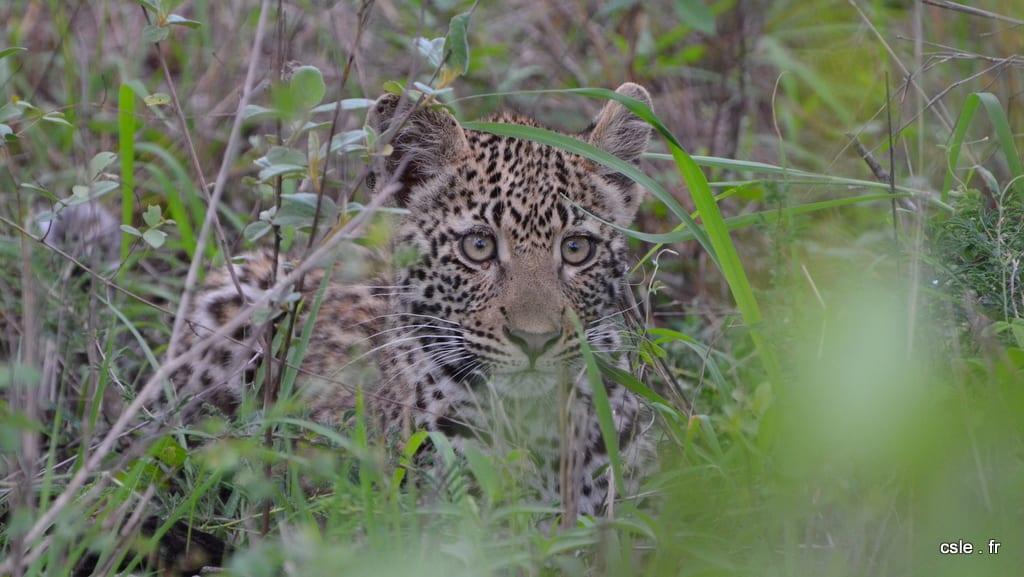 léopard – safari afrique du sud sabi sand