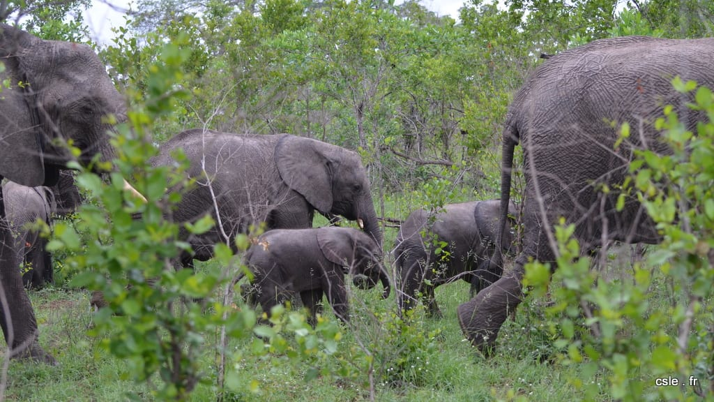 elephant – safari Afrique du Sud (6)