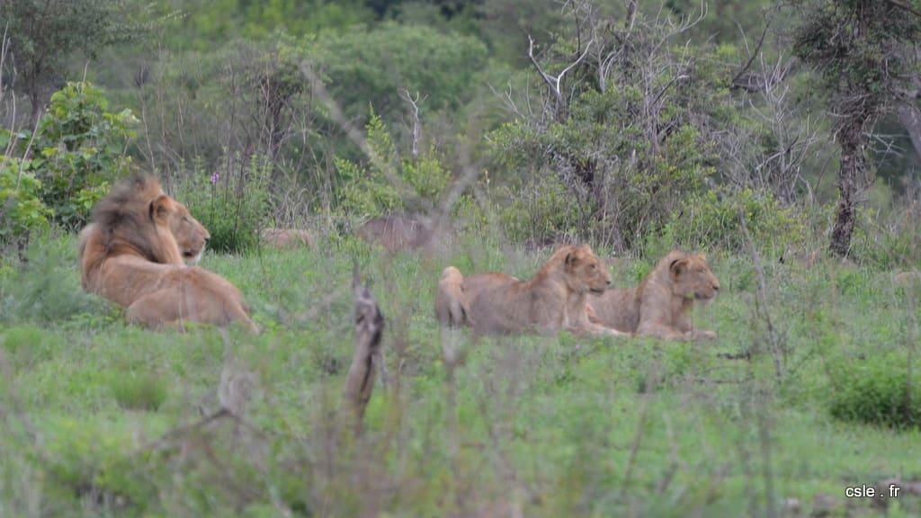 lion et lionnes – safari en afrique du sud sabi sand