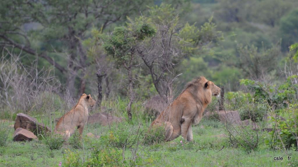 lion et lionnes – safari en afrique du sud (7)