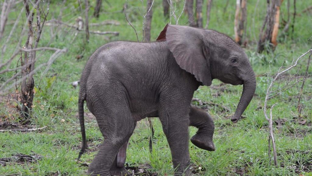 elephant – safari Afrique du Sud (4)