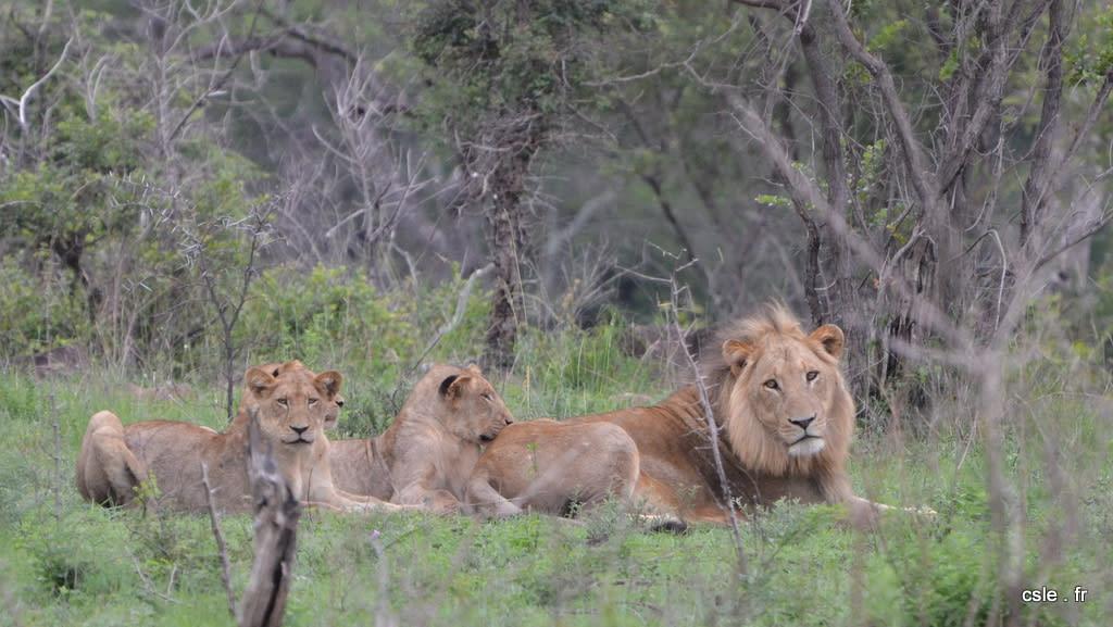 lion et lionnes – safari en afrique du sud (3)