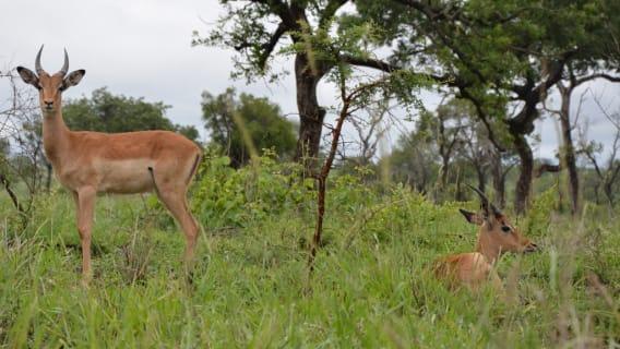 troupeaux d'impalas
