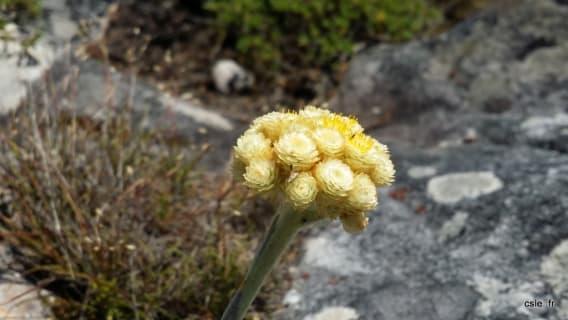 Table Mountain Flore