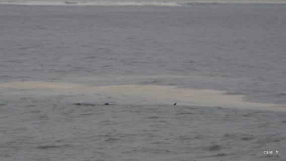 baleine à Hermanus Afrique du Sud
