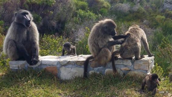 babouin cap of good hope