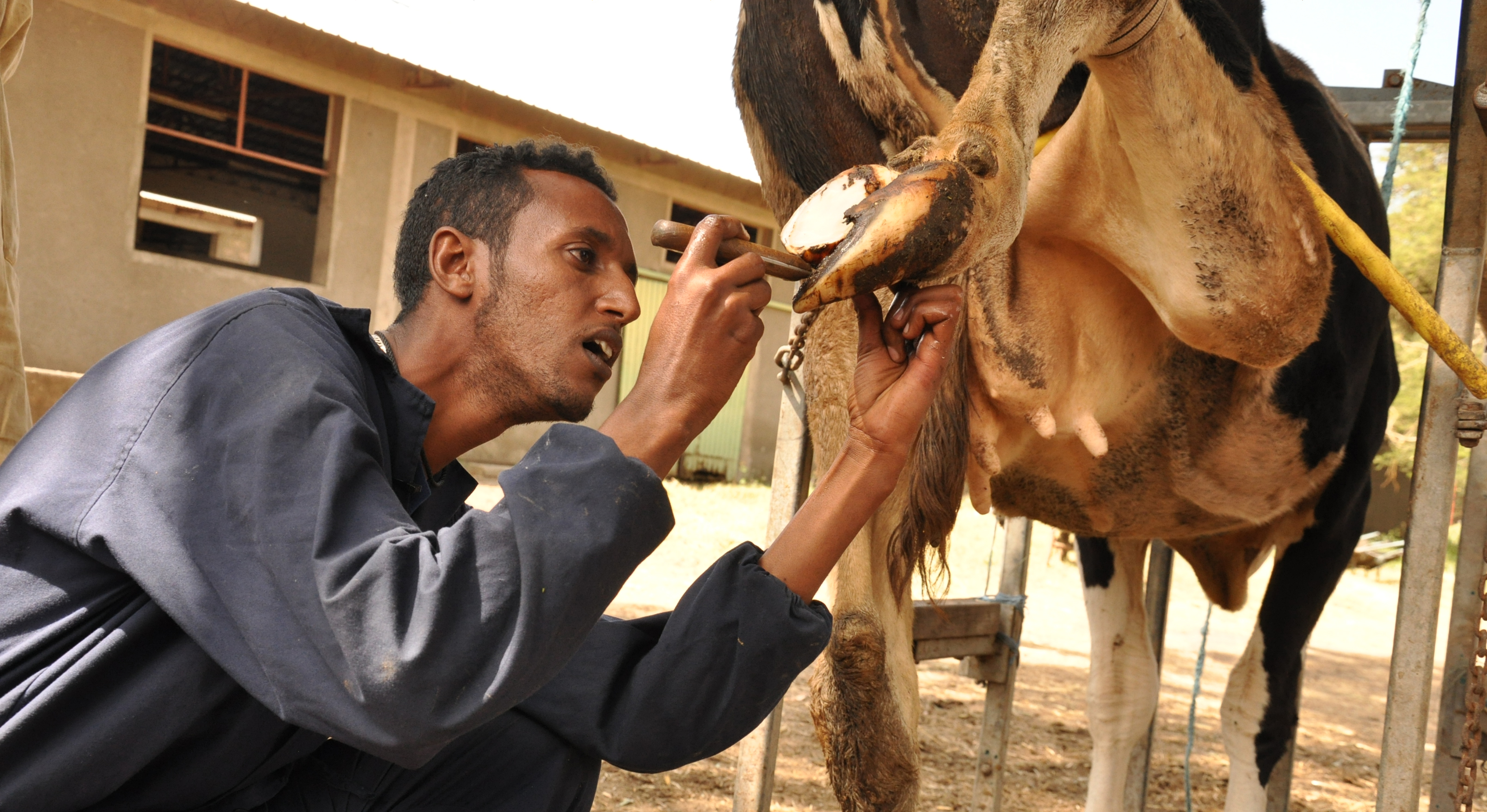 Wondewesen Kebede a dairy advisor trims a cow's hoof at Nardel Farm, Debre Zeit, Ethiopia where he offers such services to commercial dairy farmers