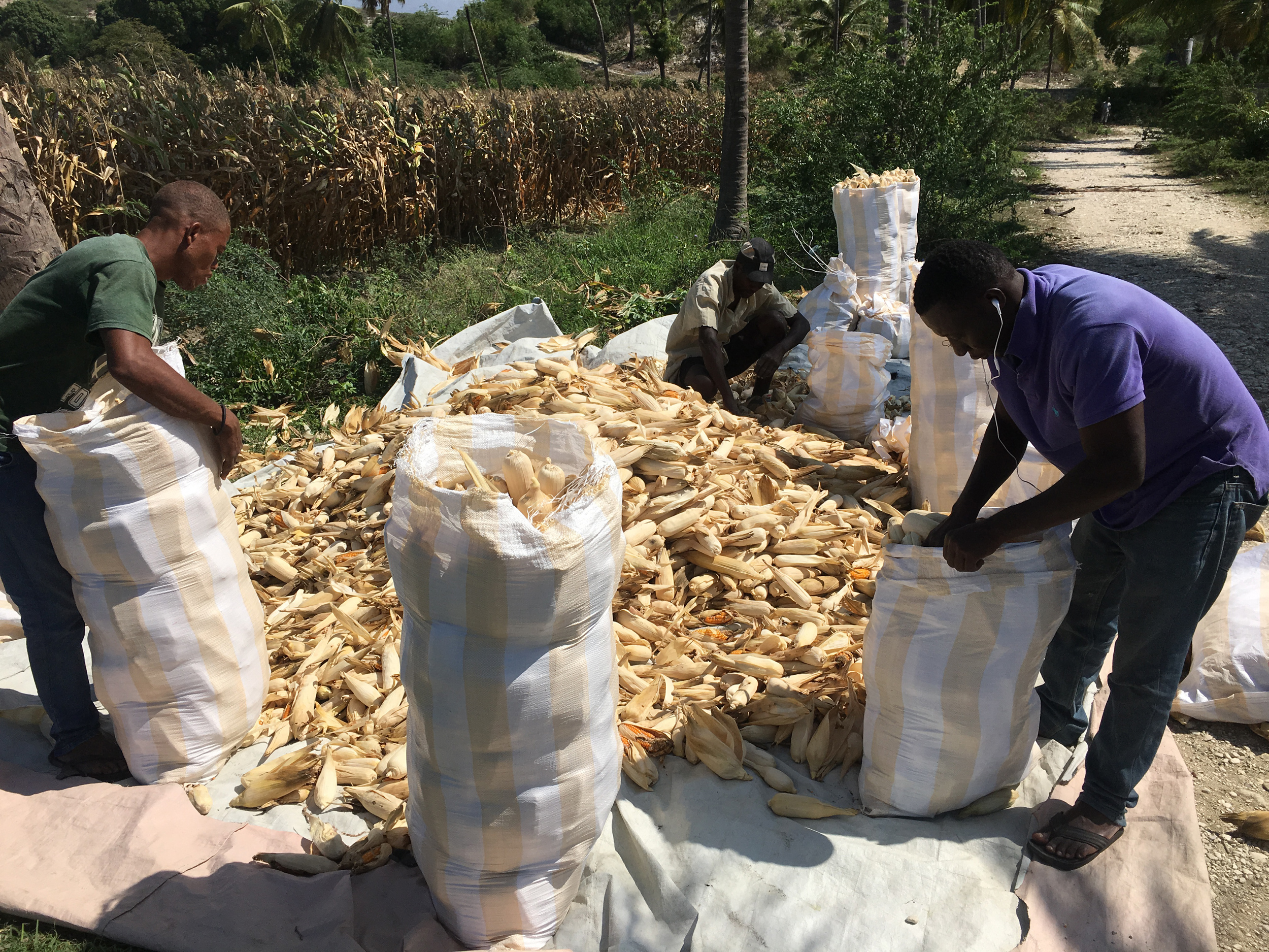 Hugo Plus produces up to seven times as much maize as traditional varieties