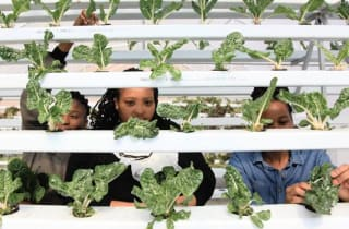 Business partners Lerato Nyokong, Lebohang Mohloding and Ayanda Mkhwane are determined to create jobs and bring food stability to the inner-city of Johannesburg through their hydroponic farming, at New Gate, Johannesburg. Nhlanhla Phillips African News Agency (ANA)