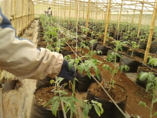 Bamboo greenhouses rise in popularity