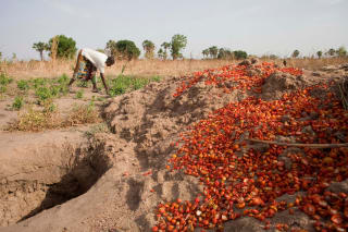 Training in good agricultural practices is helping Nigerian tomato farmers increase their yields and reduce their post-harvest losses