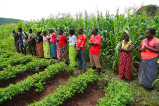 Zambian smallholders are cultivating improved groundnut seed varieties using conservation agriculture techniques to improve their productivity and incomes