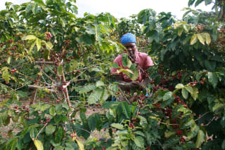 Zimbabwean coffee farmers are implementing new, sustainable coffee farming methods to increase productivity