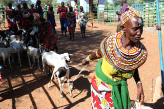 A woman from the Rendille Community herd goats and sheep home from Merille Livestock Market during a tour of Climate, Livestock and Markets (CLIMARK) project undertaken by Technical Centre for Agricultural and Rural Cooperation (CTA) on April 30 2019 in Isiolo County