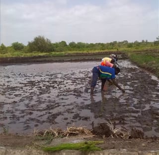 To increase climate resilience in Tanzania, rice farmers are adopting sustainable land and water management techniques