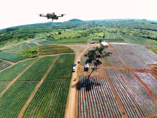 A pineapple plantation viewed from an UAV.