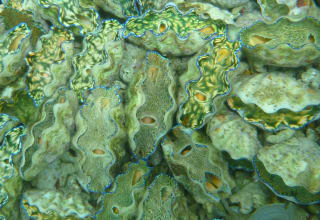 Indigo Seafood in Palau has trained local people to use sustainable methods to farm high value products such as giant clams