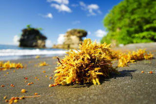 A biotech company in St Lucia is transforming invasive Sargassum seaweed into an effective plant fertiliser
