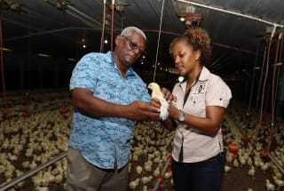 Solar energy powers Jamaica's poultry industry
