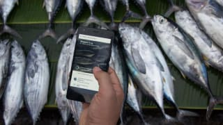 Provenance pilot blockchain technology for tracing yellowfin and skipjack tuna fish in Indonesia from shore to shopper