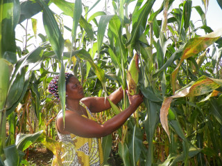 In Cameroon, over 8,000 cassava, maize and sorghum farmers are increasing their production to supply national food companies