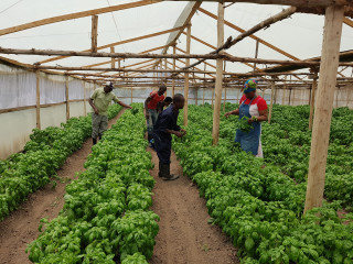 Farmers in Kenya are diversifying their production by growing profitable and fast-maturing herbal crops