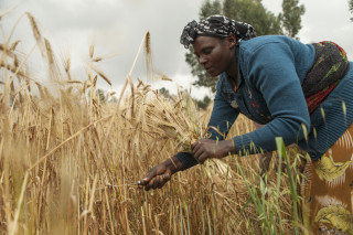 Improved varieties of malt barley improve the yields and incomes of smallholder farmers in Ethiopia