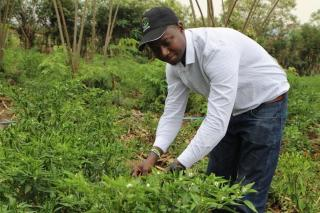 Dieudonne Twahirwa, 30, who runs Gashora Farm, examines chilli plants at his farm in Bugesera District in eastern Rwanda on August 23, 2018