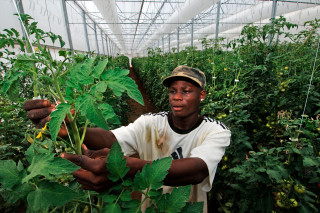 Climate-smart greenhouse technology in the Caribbean is helping farmers to protect their crops during extreme weather events and times of scarcity