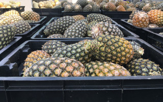 At Mukete Estates Limited, 8,260 t of pineapples have been produced during the first 9 months of 2017 Photo credit: Sophie Reeve