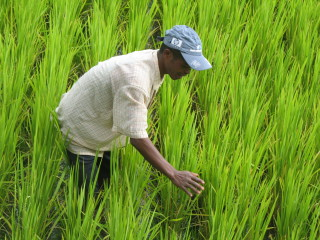In the Madagascar highlands, the use of improved technologies has improved rice yields