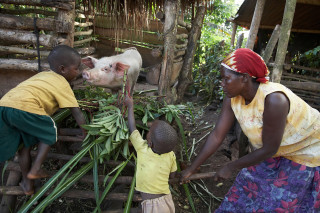Across Africa, agri-entrepreneurs are reaping the returns from small-scale and low-cost pig production.