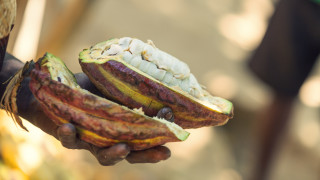 Madagascar's cocoa is ranked among the best in the world